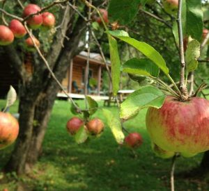 Apple tree by wilderness cabin with red apples on branches